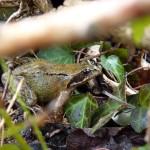 Jolie grenouille rousse