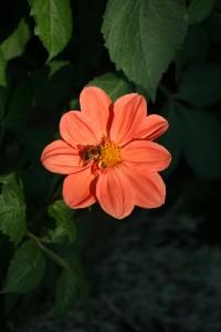 fleur_orange_abeille