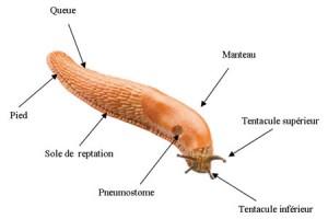 coprs de la limace