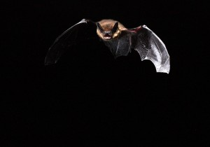 Pipistrelle en vol