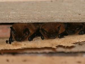 chauves-souris au gîte
